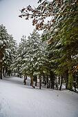 Snowy forest in Madrid mountains.