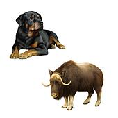 Illustration of musk-ox, dog and Rottweiler