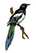 illustration magpie on white backgr