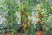 Tomato Vegetable Garden