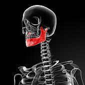 jaw bone
