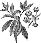 Lindera benzoin or Benzoin aestivale vintage engraving