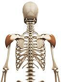 the deltoid
