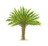 True Date Palm Tree