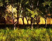 Summer Birch Trees Landscape