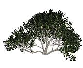 Fig tree - 3D render