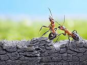 ants formica rufa on bark, wildlife