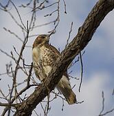 A big hawk on a tree branch