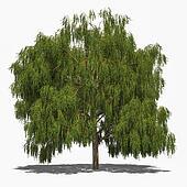 Salix alba 'Tristis' (summer)