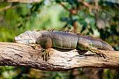 iguana reptile sleeping
