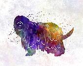 Bergamasco Shepherd in watercolor