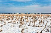 acre covered with snow and corn from last harvest