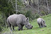 Grazing rhinos