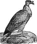 Vulture, vintage engraving.