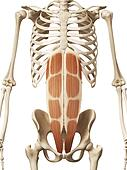 the rectus abdominis
