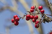 red berries in spring