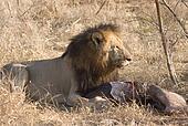 Male lion feeding on his prey