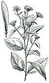 Jerusalem artichoke also called the sunroot, sunchoke, earth apple or topinambour - Helianthus tuberosus