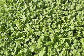 Young sprouts mustard plant