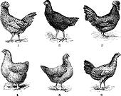 Hens, 1. Houdan chicken. 2. Hen the Arrow. 3. Hen Crevecoeur. 4. Cochin hen. 5. Dorking hen. 6. Chicken of Bresse, vintage engraving.