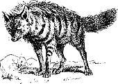 Aardwolf or Proteles cristata, vintage engraving.