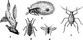 Aphids or plant lice, 1. Woolly adelgid. 2. Woolly adelgid. 3. Root aphid. 4. Rose aphid (male). 5. Rose aphid (female), vintage engraving.