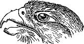Rapacious Falcon headed, vintage engraving.