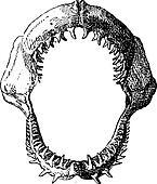 Shark jaw, vintage engraving.