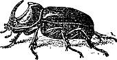European Rhinoceros beetle (Oryctes nasicornis), vintage engraving.