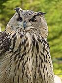 Horned Owl Portrait