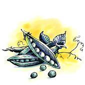 Peas. Watercolor illustration