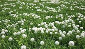 Grass meadow, bird eye view, plenty of dandelion flowers.