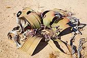 Welwitschia Mirabilis in Namib Desert