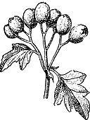 Common hawthorn or Crataegus monogyna vintage engraving