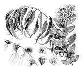 Details Eucalyptus globulus, vintage engraving.