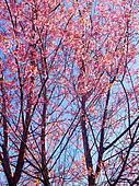 Prunus cerasoides ,Wild Himalayan Cherry ,  sakura thailand  blo