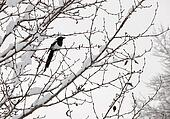 Black-billed magpie (Pica hudsonia) perched on a tree