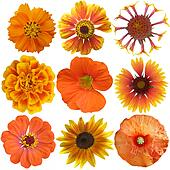 Set of Orange  Flowers Isolated on White