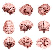 3d human brain illustration