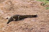 Crocodile savanna