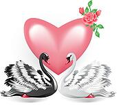 Elegant white and black swan