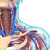 Circulatory system of shoulders