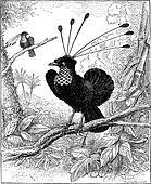Paradisier sifilet or Western Parotia, vintage engraving.