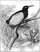 Twelve-wired Bird-of-paradise or Seleucidis melanoleucus, vintage engraving.