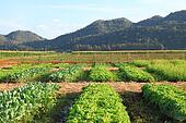Lettuce farm near mountain