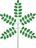 Acacia twig
