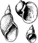 Seashell lymnaeidae