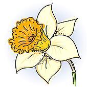 Daffodil (narcissus )