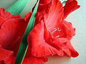 red gladiolus flowers