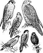 Bird falcon